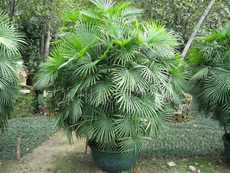 树 棕榈树 800_600