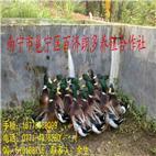 鸭  青头鸭  芝麻鸭  鸭生放养芝麻鸭