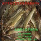 塘角鱼、野生放养塘角鱼、环保生长塘角鱼
